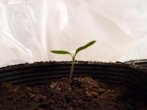 トマトの本葉が芽を出す