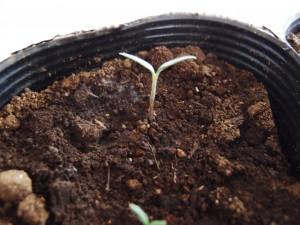 順調に大きくなる大玉トマト