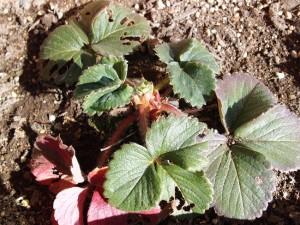 虫に食われたいちごの葉