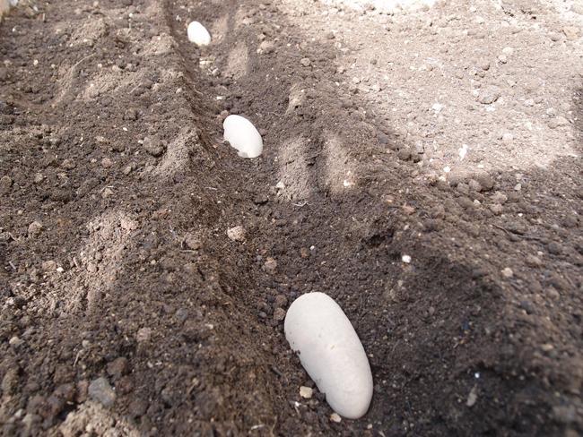 種芋を植え付ける