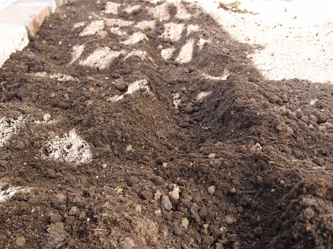 植えた部分にだけ土をかぶせる
