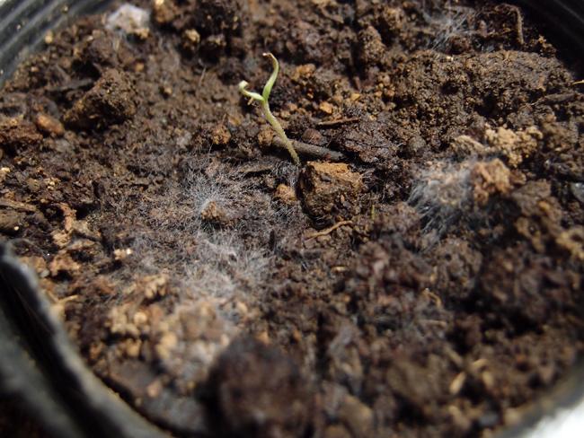 土にできた白カビ