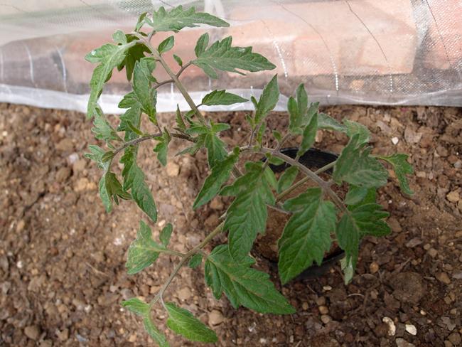 トマトの苗を外で管理する