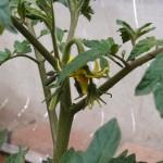 大玉トマト麗夏の一番花