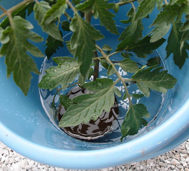 トマトの苗を水につける