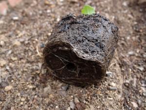 ブロッコリーの苗の根
