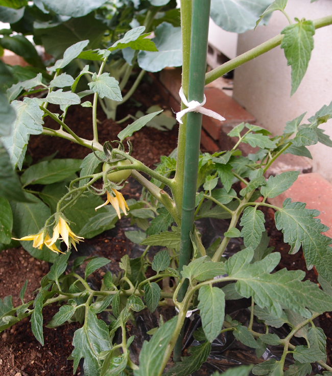 大玉トマトが成長し本支柱へ