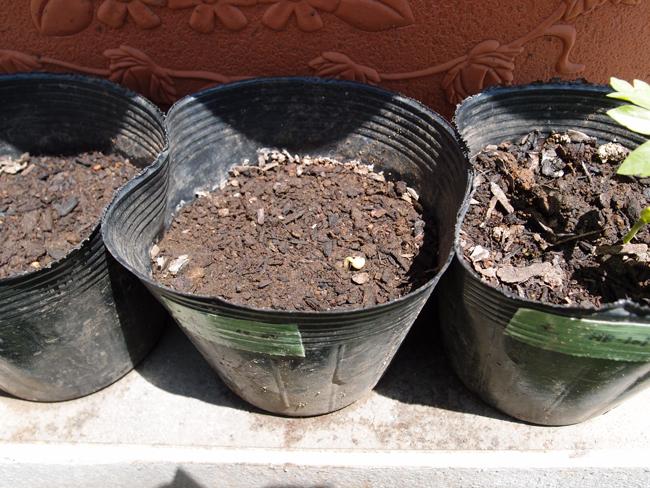 化成肥料を与えたポットが発芽