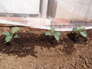 ブロッコリーの植え付けから10日