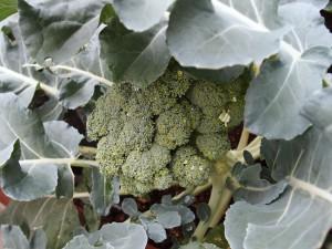 ブロッコリーの収穫時期