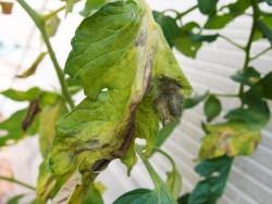 疫病にかかったトマトの葉