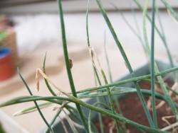 ネギの葉にくっつくネギコガ