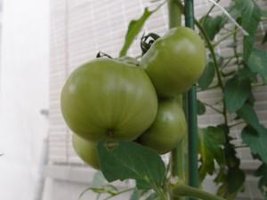 大玉トマトの6月の様子