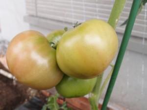 6月25日の大玉トマト