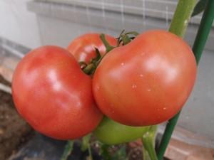 6月27日の大玉トマト