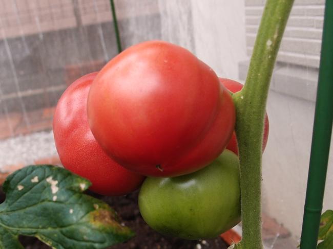 6月28日の大玉トマト