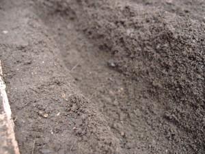ネギを植えるための土手