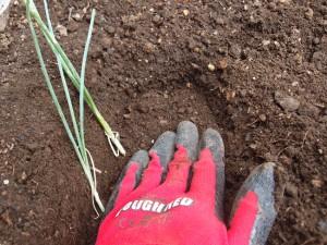 ネギに土を被せ固定する