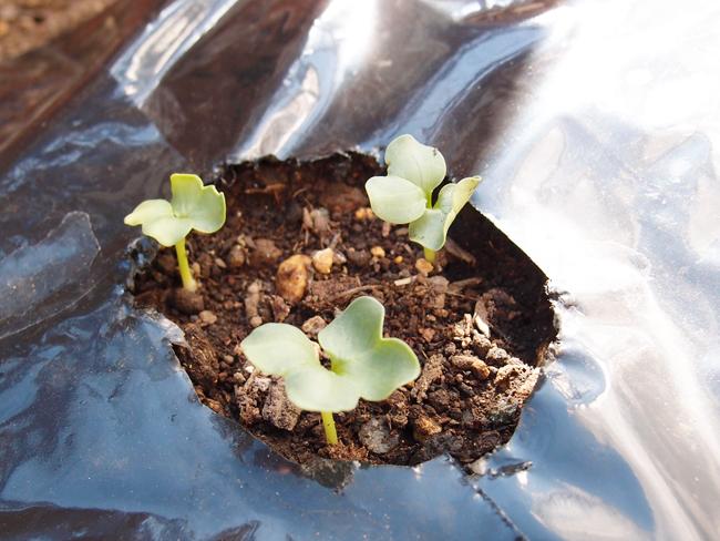 種まきから3日後の大根の様子