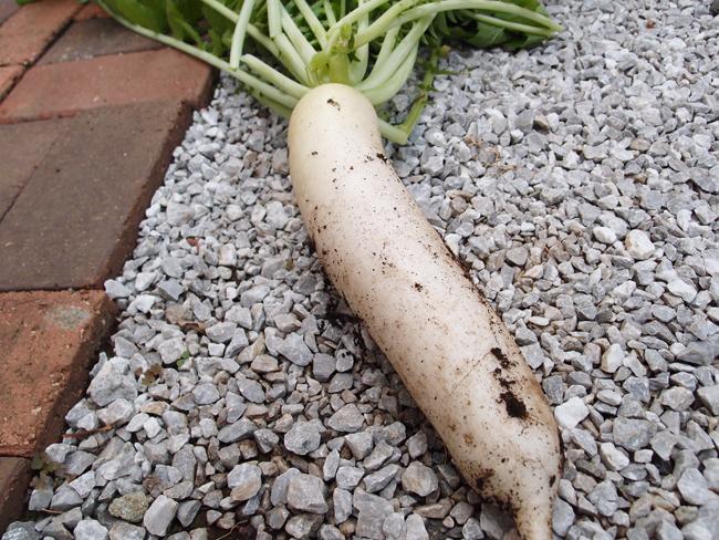 家庭菜園で収穫した大根