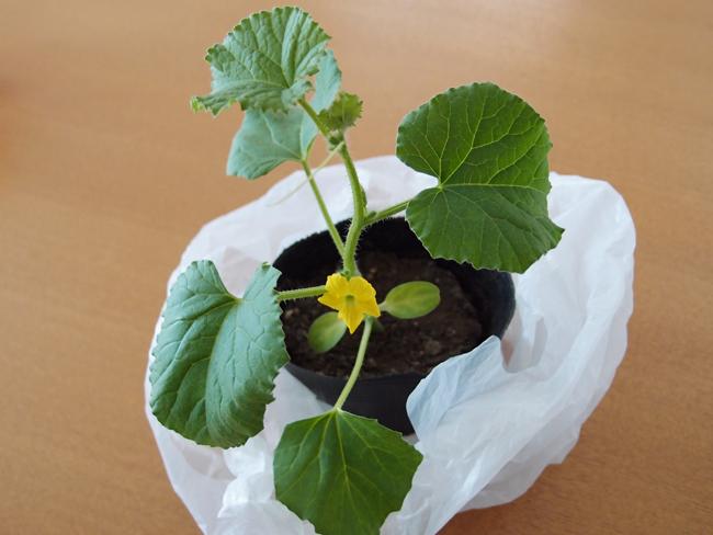 1番花が咲いたプリンスメロンの苗