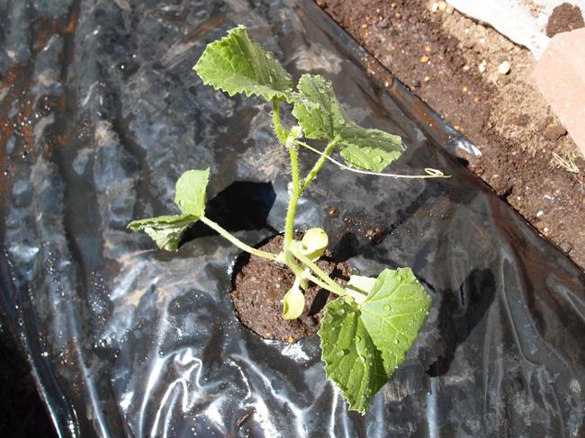 プリンスメロンを植え付け(定植)