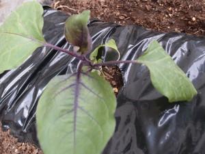 ナスの苗の植え付け