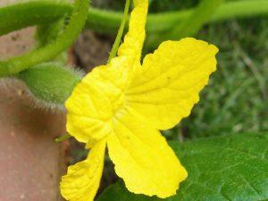 メロンの雌花が開花