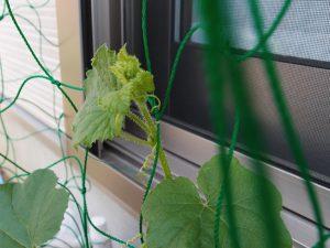 ネットに茎を誘引する