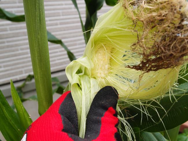 収穫の確認方法
