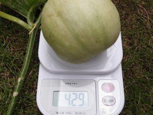 受粉1ヶ月後のプリンスメロンの重さ