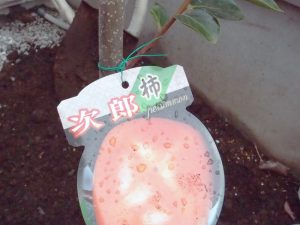 次郎柿の苗木を購入