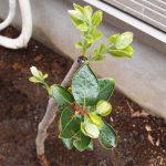 柿の植え付け完了