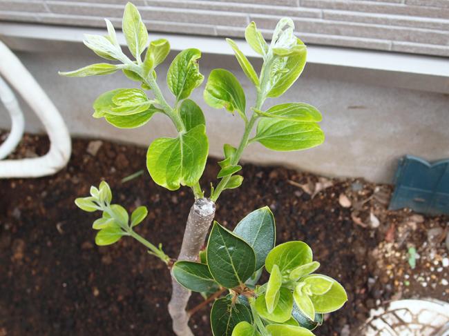 植え付け2日後の柿の木