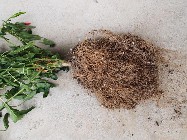 唐辛子の根
