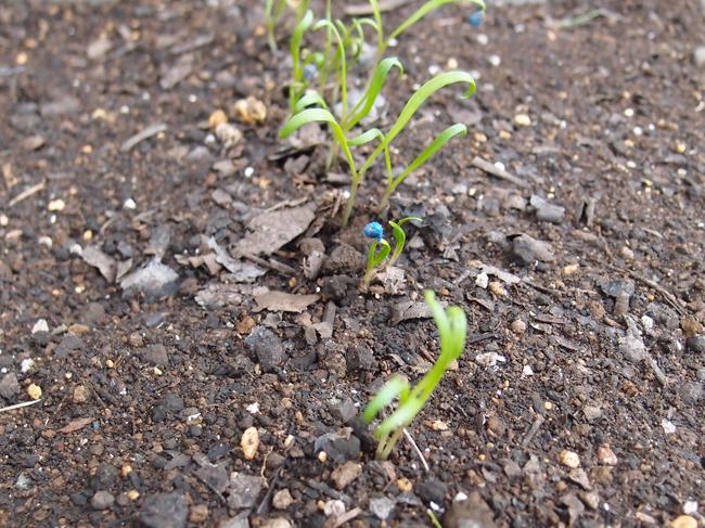 成長の早いほうれん草
