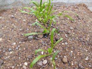 ほうれん草の育て方