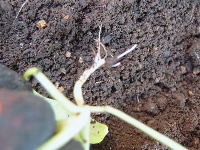 根が無いほうれん草