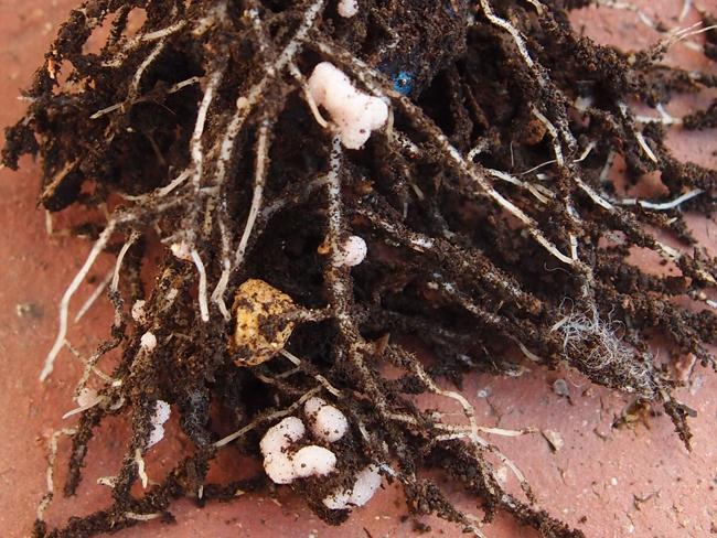 マメ科の根粒
