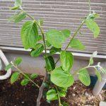 植え付け1週間後の柿