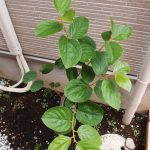 植え付け1ヶ月後の柿