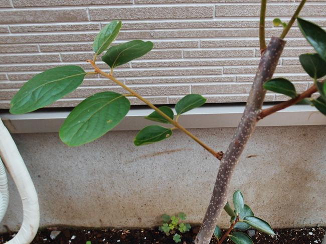新芽の成長