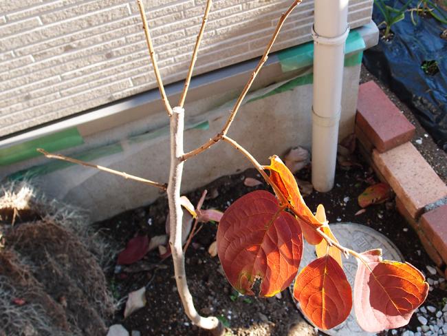 落葉が始った柿