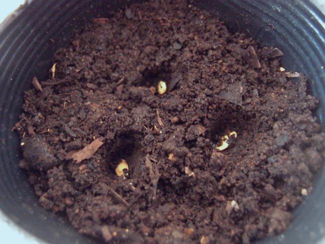 アールスメロンの種を植える