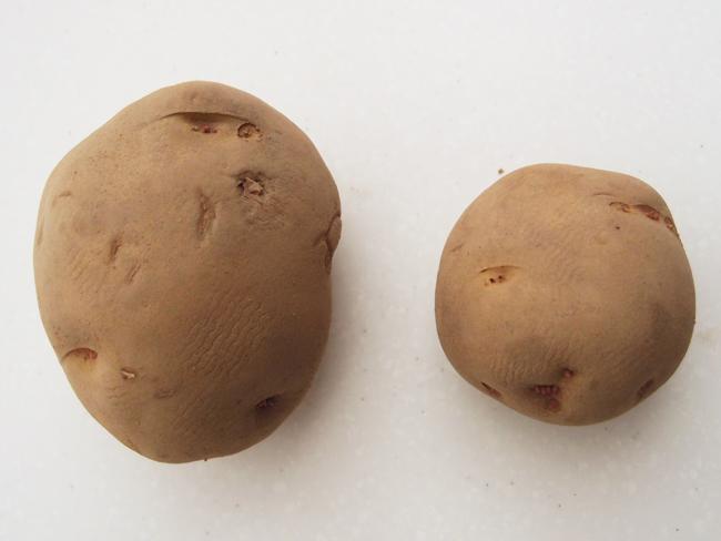 大きい種芋と小さい種芋