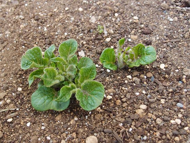 発芽から5日後の男爵芋