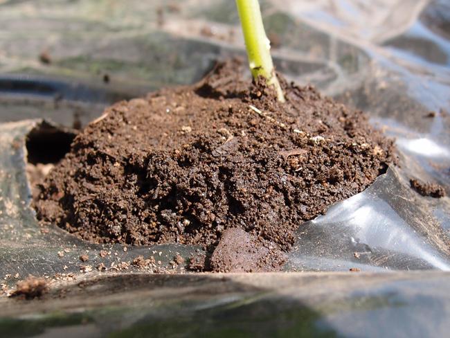 きゅうりの苗の植え方