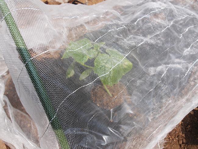 定植後の防虫ネット