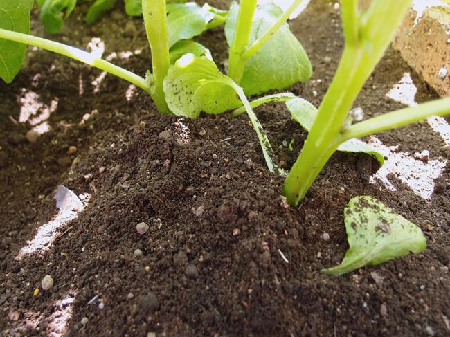 じゃがいもの芽かき後の土寄せ