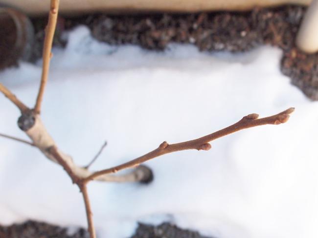 柿の木に雪
